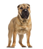 Standing Shar Pei (15 months old) Stock Photo