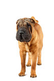 Standing sharpei Royalty Free Stock Photo