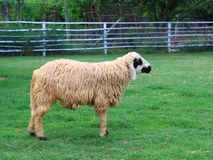 Standing sheep Stock Images