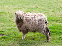 Standing Sheep looking cool and happy Stock Photos