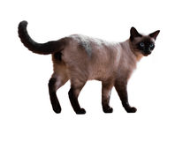 Standing Siamese cat Stock Images
