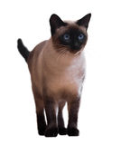 Standing Siamese cat Royalty Free Stock Photos