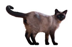 Standing Siamese cat Royalty Free Stock Images