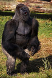 Standing Silverback Gorilla showing his power Royalty Free Stock Photos