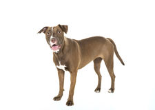 Standing Smiling Dog Isolated on White Royalty Free Stock Photos