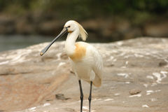 Standing Spoonbill. Spoonbill standing on a rock at Ranganthittu national park in India Stock Images