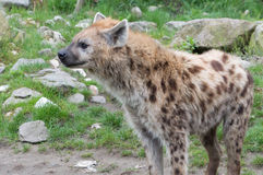 Standing spotted hyena (Crocuta crocuta) Stock Photos