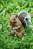 Standing Squirrel. Brown squirrel standing upright on grass Royalty Free Stock Photos
