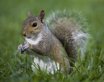 Standing squirrel Royalty Free Stock Photography