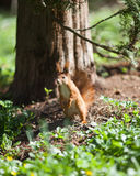 Standing squirrel Royalty Free Stock Photos