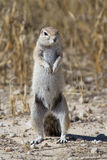 Standing squirrel Stock Images
