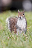 Standing Squirrel Stock Photos