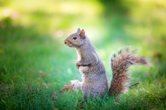 A standing squirrel on the green grass Royalty Free Stock Images