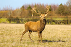 Standing Stag. A magnificent young adult stag standing in a field Royalty Free Stock Photo