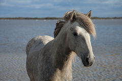 Standing stallion. Stallion standing in the marshes of the camargue in southern france stock photo