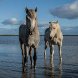 Standing stallions Stock Images