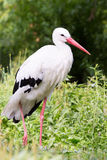 Standing stork Stock Photos