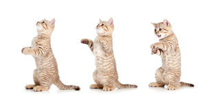 Standing striped british kitten set Royalty Free Stock Images