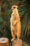 Standing suricat Stock Photos