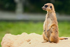 Standing Suricate or Meerkat Stock Photos
