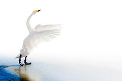 Standing swan on ice edge with spread wings. Standing whooper swan on ice edge with spread wings royalty free stock photo