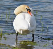 Standing Swan preening Stock Photo