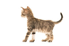 Standing tabby turkish angora baby cat seen from the back stock images