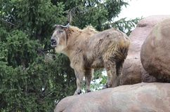Standing takin3 Royalty Free Stock Photos