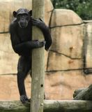 Standing Tall. Chimpanzee standing up against pole Royalty Free Stock Photos