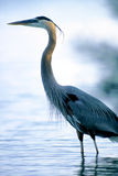 Standing Tall. A great blue heron standing tall Stock Images