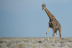Standing Tall Royalty Free Stock Photo