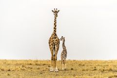 Standing Tall - Massai Giraffe Mother & newborn calf in grasslands of Massai Mara National Reserve, Kenya. Giraffa camelopardalis tippelskirchi. In grasslands stock photography