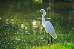Standing tall and proud, is a beautiful, orange beaked, white egret on the edge of a beautiful green pond and a bright grassy-gree stock photography