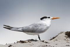 Standing tern Stock Photos