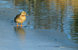 Standing on Thin Ice Royalty Free Stock Photo