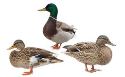 Free Standing Three Ducks Isolated On White Stock Photos - 161941953