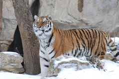 Standing tiger. An adult female amur tiger stands near a tree in the snow Stock Images