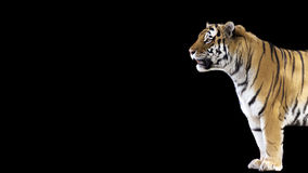 Standing Tiger Banner. Banner of a standing tiger in profile on a black background with room for text Royalty Free Stock Images