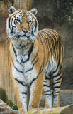 Standing Tiger. Orange and black striped bengal tiger standing Stock Photography