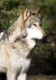 Standing Timberwolf Wolf Looks at Prey Hunting Royalty Free Stock Images
