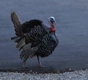 Standing Turkey Royalty Free Stock Photo