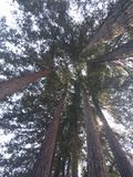 Standing under redwood trees Stock Image