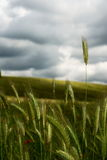 Standing up. Wheat stemms standing up against stormy sky stock image