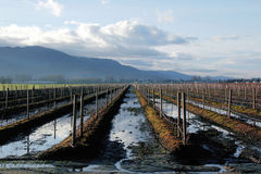Standing Water in Blueberry Field Royalty Free Stock Photography
