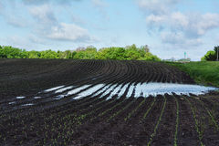 Standing Water. A cornfield with standing water and germinating corn Stock Photos