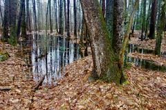 Standing water in woods in April in Maine, US, one large tree in foreground. Large expanse of standing water in the woods in spring in Westbrook, Maine, April 24 stock images