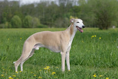 Standing whippet dog Royalty Free Stock Photos