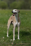 Standing Whippet dog Stock Photos