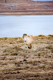Standing white Icelandic horse facing camera Royalty Free Stock Photos