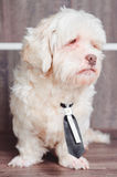 Standing white Lhasa Apso dog wearing a tie. Stock Image